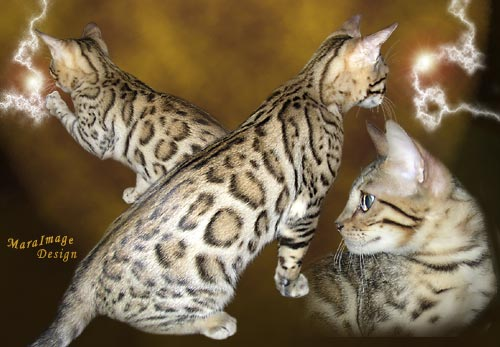 Legacie Bengal Cats and Bengal kittens for sale Illinois, Illinois ...